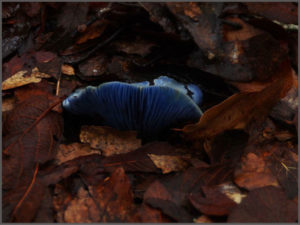 Blue mushroom growing from amongst the leaves
